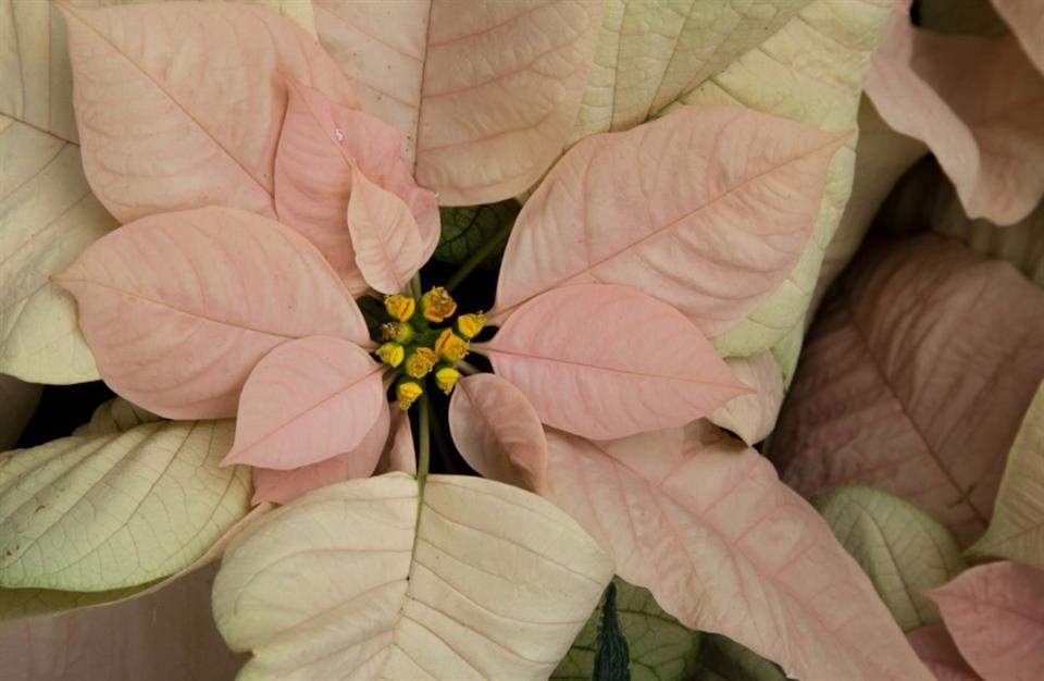 British Florist Association Poinsettia advice