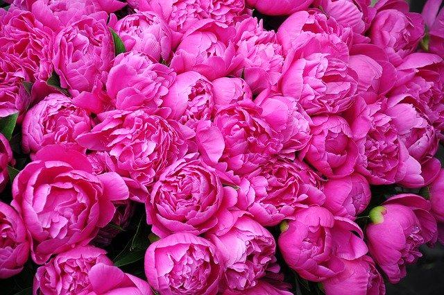 Peonies- Mays golden girls. FCH Tracy Tomlinson. British Florist Association.